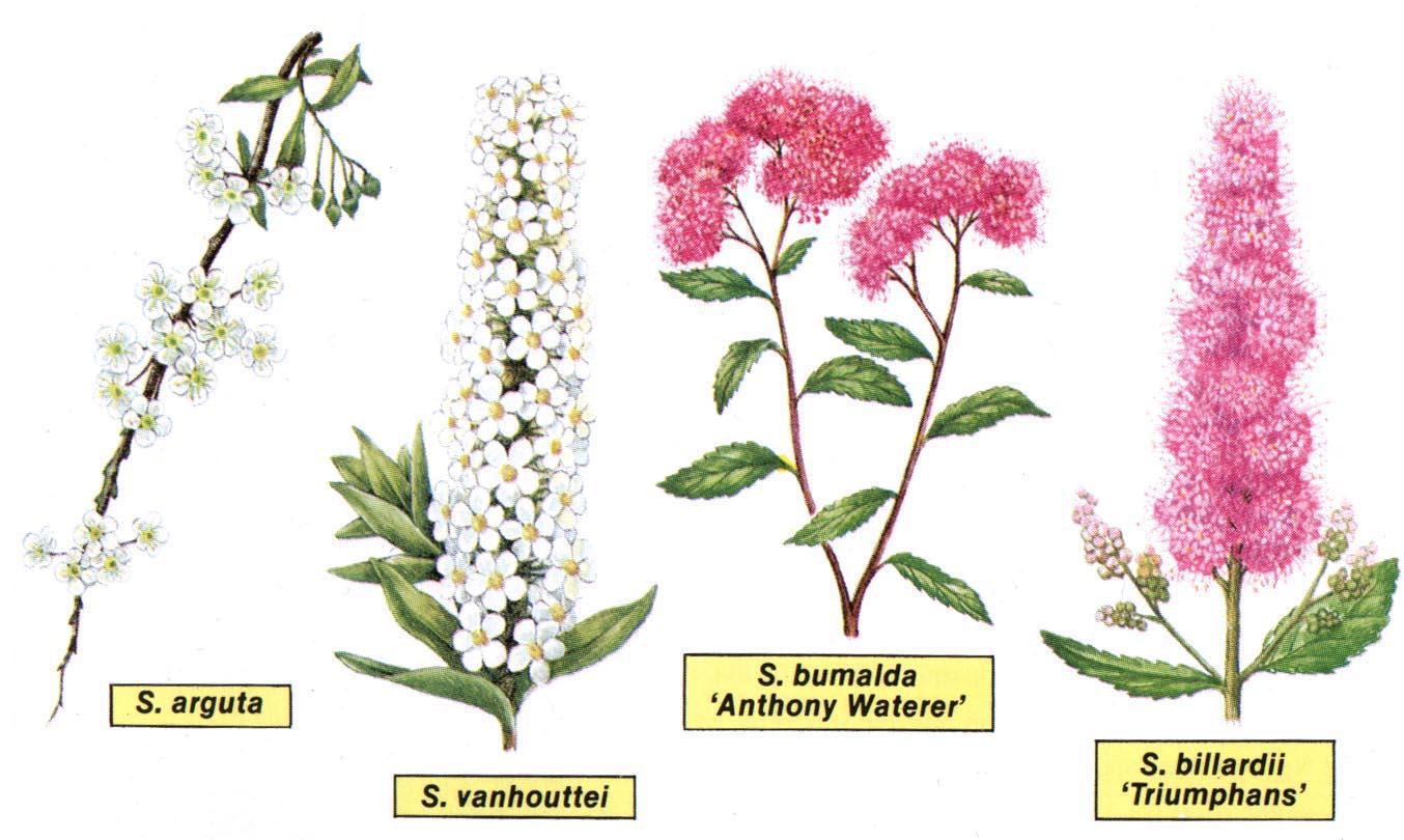 datování magnolie spad 4